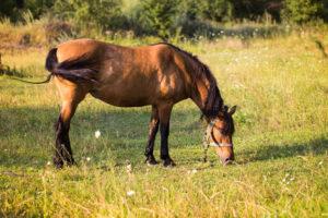cosa mangia il cavallo? - alimentazione del cavallo