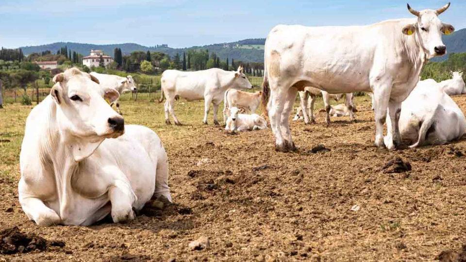 Alimentazione dei bovini negli allevamenti
