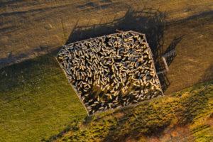 allvare pecore - pecore nel recinto di un allevamento
