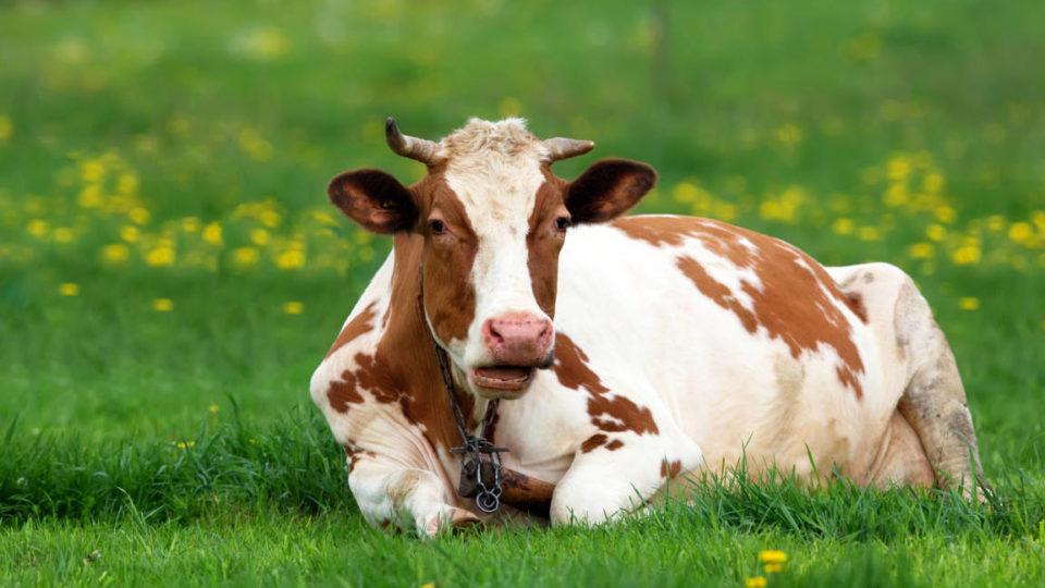 ruminazione - mucca al riposo
