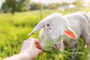 dar da mangiare alle pecore al pascolo