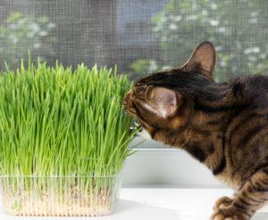 Cibo per gatti - vegetale ed erba gatta
