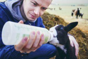 nutrire un agnello - allevare pecore