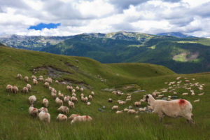 allevamento ovini allo stato brado