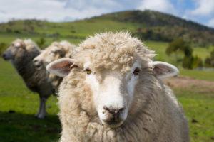 lana pregiata delle pecore o ovini