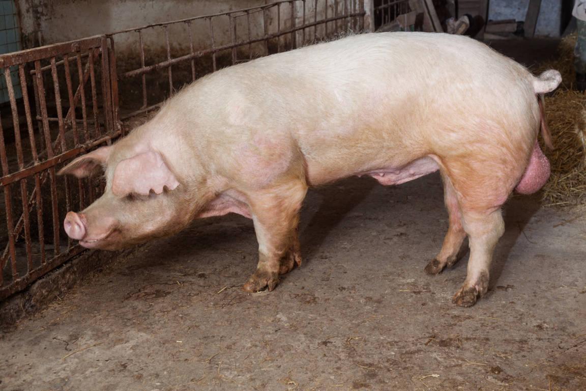 allevamento maiali in recinto