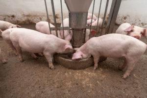 alimentazione del suino in allevamento