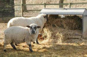 allevare pecore - pecore che mangiano fieno