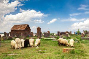 allevamento ovini - gregge di pecore al pascolo