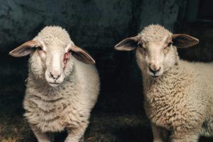 allevamento di ovini