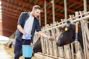 mucche e tori all'ingrasso in allevamento