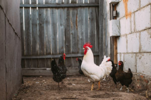 allevare galline ovaiole nel pollaio