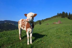 giovani mucche o giovenche