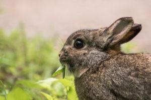 I conigli selvatici e la loro alimentazione