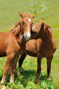 allevamento cavalli : come scegliere le razze di cavalli