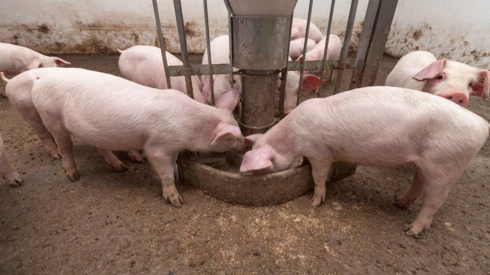cosa mangia il maiale: da cosa è composto il mangime per suini