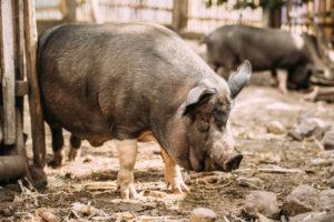 cosa mangia il maiale negli allevamenti