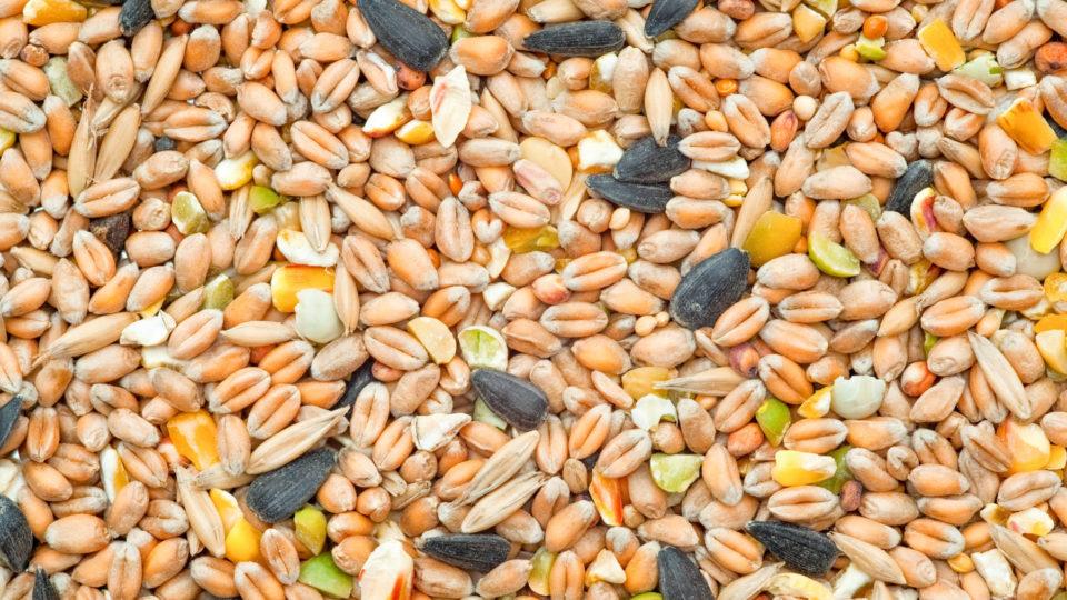 Cosa mangiano gli uccelli? I diversi tipi di semi che mangiano i volatili