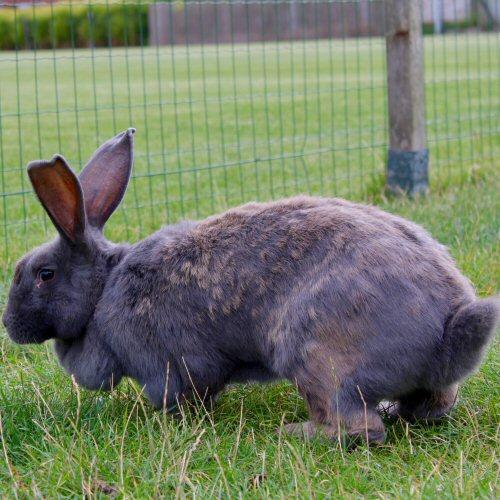 La razza del coniglio gigante 500x500 - Giardini Mangimi